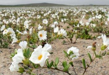 В самой засушливой пустыне мира выросли цветы (фото)