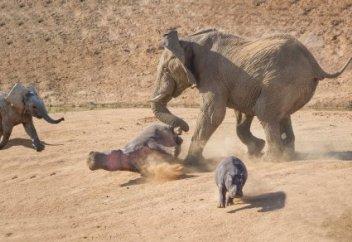 Нападение разъяренного слона на бегемотов попало на видео