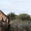 В Африке обнаружены два карликовых жирафа. Как спят жирафы