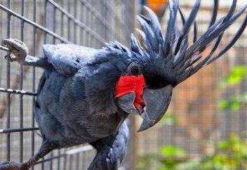 Попугай купца