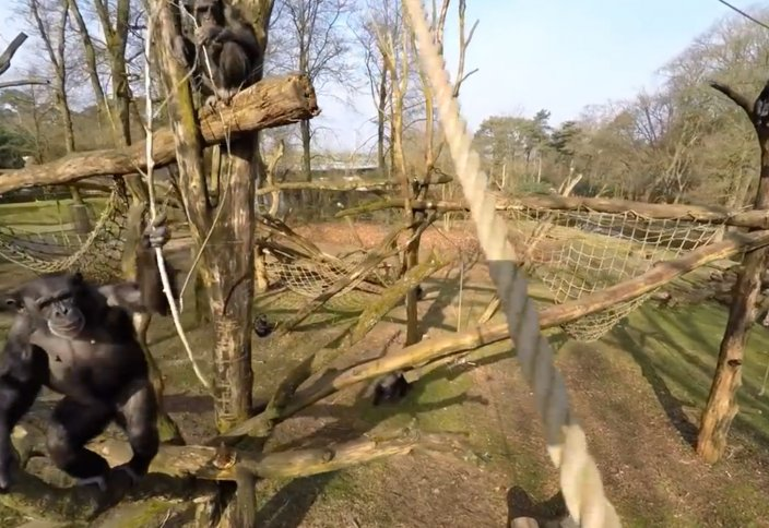 Жануарлар әлемі: Зообақтағы маймыл дронды таяқпен ұрып құлатты (видео)