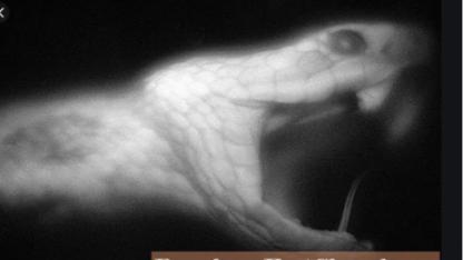 ОБЛАДАЮТ ЛИ ЗМЕИ ГИПНОЗОМ? (жыланның арбауы шындық па әлде миф пе?)