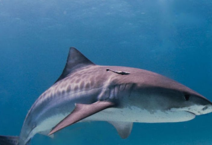 Алып акуланың асқазанынан адам басы табылды