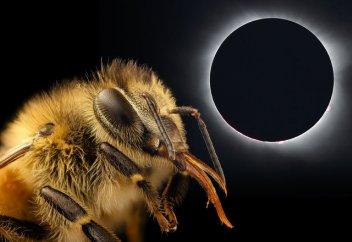 Биологи раскрыли необычную связь между пчелами и солнечными затмениями