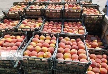 Сбор урожая персика в иранском Миандоабе (фото)