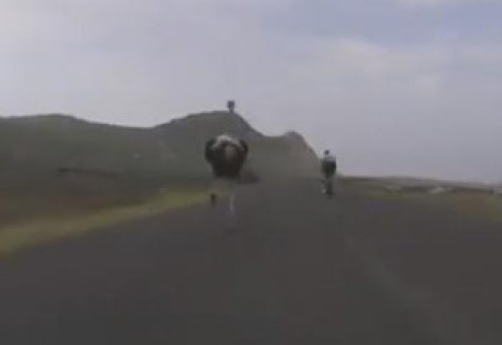 Жануарлар әлемі: Түйеқұс Африкада веложарыстың қатысушысына айналды (ВИДЕО)