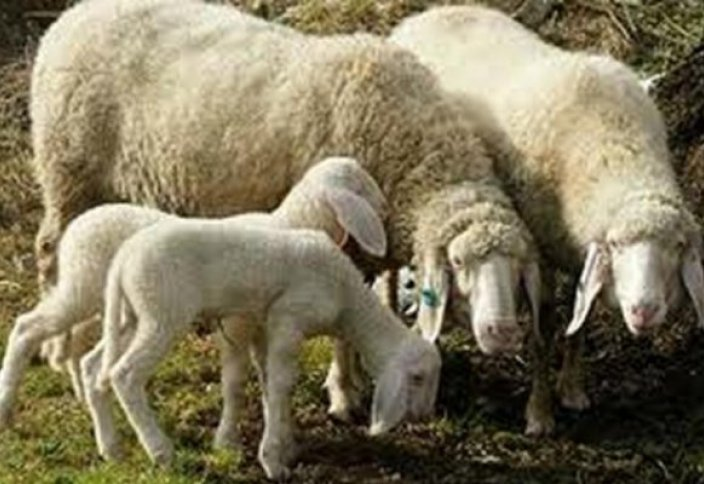 """Арабтар мен парсылар қазақ қойының етіне неге """"жерік"""""""
