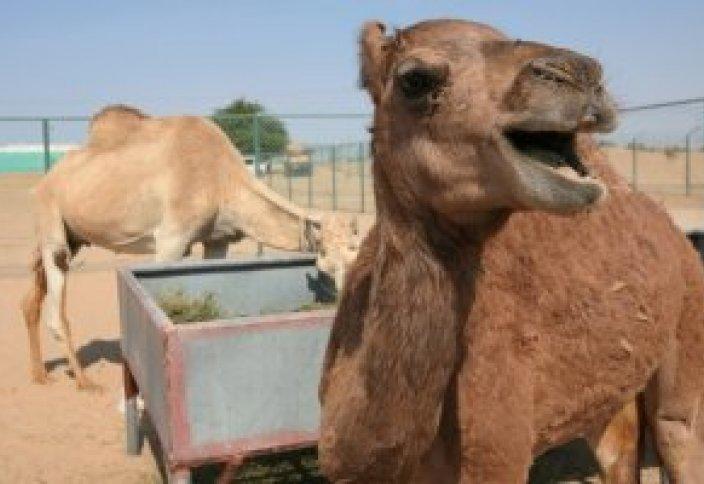 Потомство от первой в мире клонированной верблюдицы уже на подходе