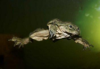 Титикактық ысқырушы бақа (фото+видео)
