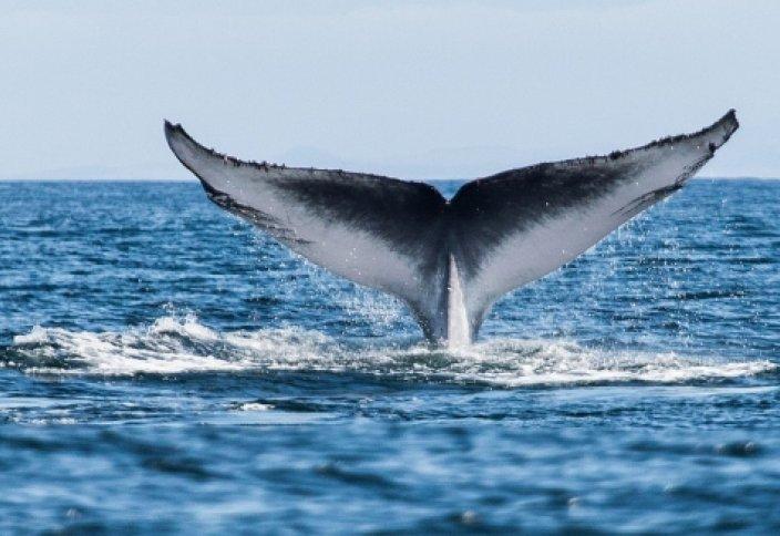 Тұңғиыққа тұла бойымен тік тұрған киттің құпиясы (видео)
