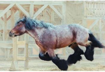 Брабансоны: Конь, который не пропускал день ног. Гора мышц, способная перевозить тяжелейшие грузы (фото)