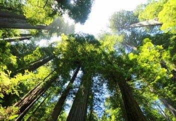 Ғалымдар әлемдегі ең биік ағашты тапты