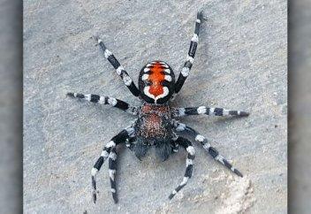 Обнаружен новый вид пауков с окрасом знаменитого Джокера. Исследователи побрили лапки паука, чтобы сделать антипригарную поверхность (видео)