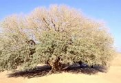 Благословенное дерево Пророка (саляллаху алейхи васаллям)