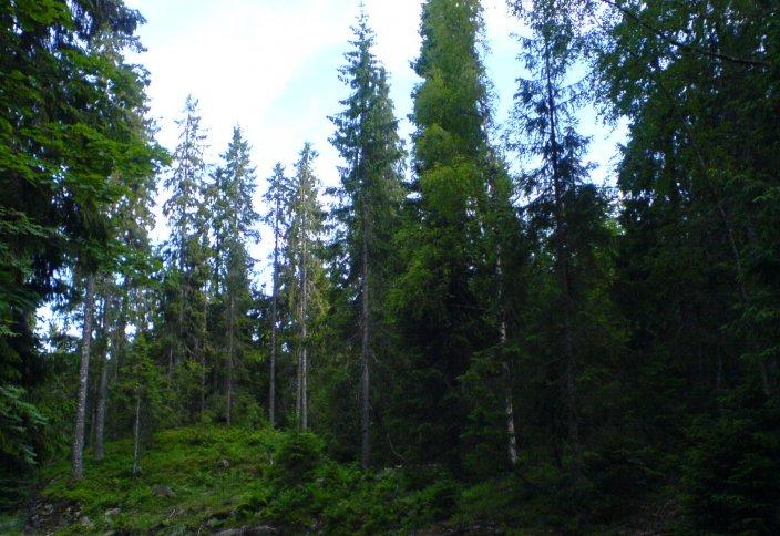 Norvegïya tarïxta bіrіnşі bolıp, öz jerіnde orman şabwğa tıyım saldı