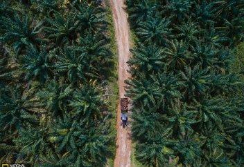 Орманды жұтқан пальма майы