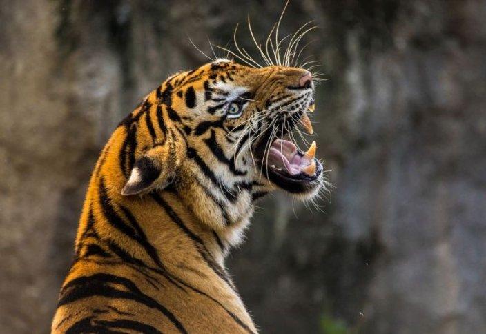 Количество тигров на Земле увеличилось