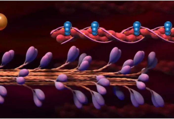 Бұлшық еттегі молекулярлы қозғалтқыштың қалай жұмыс істейтіні белгілі болды